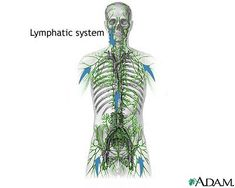 Tour the Immune System: Lymph: Kind of Like Blood Except It's Not