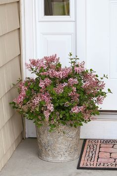 Proven Winners Bloomerang Pink Perfume Reblooming Lilac Syringa X Plant Details Information And Resources