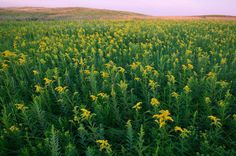 Goldenrod (Solidago sp.) growing in Minnesota; photo courtesy of Clint Farlinger Text and Photographs by Juliet Blankespoor, unless otherwise noted The following article isa sneakpeekintoour 350-hour Online Foraging Course: Edible and Medicinal Wild Herbs, which begins in early 2018!This groundbreaking program is shaping up to be THE most comprehensive online course on the topic ofharvestingwildmedicinals and edible weeds.The course begins with the basic ground rules of foraging…