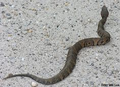 snakes in mississippi   cottonmouths snakes cottonmouth snake in habitat