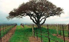 In the Vineyard Red And Blue, Vineyard, Country Roads, Vine Yard, Vineyard Vines
