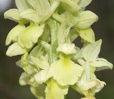 Orchis pallens. Alemanha. (Orquidário Morumby, São Paulo).