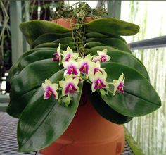 Phalaenopsis bellina at Krull Smith Orchids one of my favourite species
