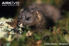 The European mink (Mustela lutreola) is one of Europe's most endangered mammals.