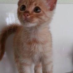 Cream Taby minik Milka yuva arıyor ♥ 1,5 aylık, erkek mini mini bebek kedicik annesiz bulundu gene :( Adını kış aylarında sahiplendirdiğimiz bir kedimize sahibi tarafından koyulan ad olan Milka'yı uygun gördük zira ona çok benziyor. Minik Milka'nın iç ve dış parazit tedavisi yapıldı, iştahlı, oyuncu ve sağlıklı. İstanbul, İzmit, Adapazarı ve Bolu illerine sahiplendirme yapılabilir. 0532 681 18 74-0505 514 36 36 Erenköy/İstanbul