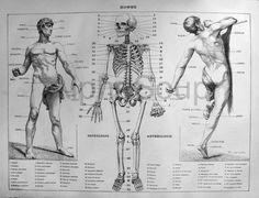 Anatomy of Man, skeleton, muscles, blood vessels. Late 1800's engraving. $20