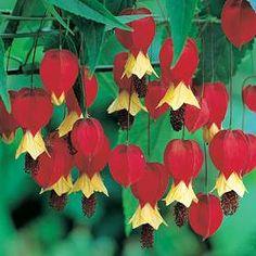 Abutilon hybridum. - Google Search