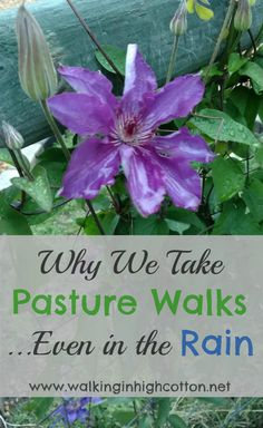 Why we take pasture walks--what we see, what we do, what we watch for. via Walking in High Cotton Daily Farm, Wild Edibles, Small Farm, Grow Your Own Food, Farm Yard, Cool Diy Projects, Winter Garden, Permaculture, Gardening Tips