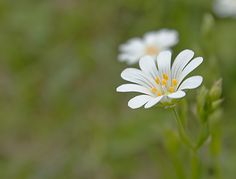 Stitchwort flower by Glenn Driver, via 500px