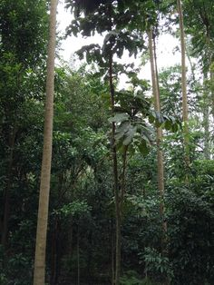 The growing rainforest. These trees are just five years old and show how quickly the rainforest can regrow.