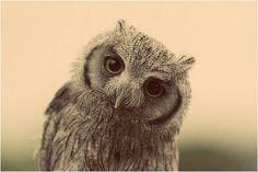 Owl goes. Owl goes who? Beautiful Birds, Animals Beautiful, Hello Beautiful, Beautiful Hearts, Baby Animals, Cute Animals, Wild Animals, Baby Owls, Baby Baby