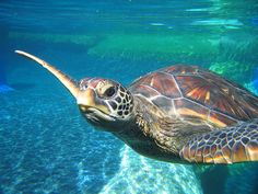 maui turtles - Bing Images Turtle Love, Sea Turtles, Maui, Pencil Drawings, Bing Images, Wildlife, Animals, Animales, Animaux