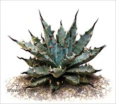 Not to be confused with cactus; nearly all cacti are succulents but not all succulents are cacti.