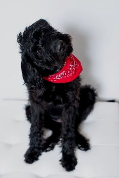 disney, the black labradoodle puppy - Nellie Doggies - Puppies Black Labradoodle Puppy, Cute Puppies, Cute Dogs, Black Puppy, Cute Dog Pictures, Dog Rules, Pet Puppy, I Love Dogs, Fur Babies