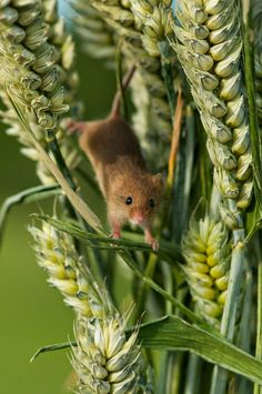 Matt's Photos - Harvest Mouse