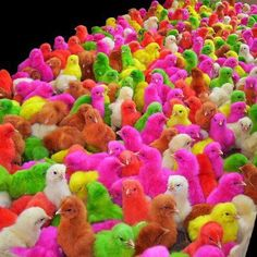 Colored Baby Chicks For Sale