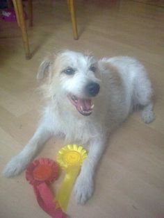 Lizzie our Rescued Parsons Terrier winning at our local dogs show for prettiest bitch ! #PetPinUp #PetRunway