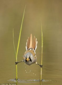 The bearded reedling male expertly straddles who reeds to catche a cranefly in shallow waters