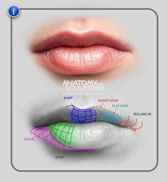 Image result for anatomy of the lips