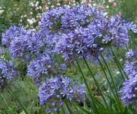 Agapanthus Blu a foglia caduca......  Raziel - Vendita Bulbi, sementi e Fiori. Vendita online Bulbi e sementi per fiori. .......San Martino di Lupari, provincia di Padova,