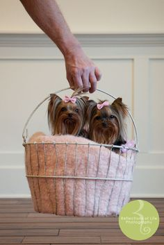 "Excellent ""yorkshire terrier"" information is readily available on our website. Have a look and you wont be sorry you did. Yorkies, Yorkie Puppy, Teacup Yorkie, Small Poodle, Poodle Grooming, Silky Terrier, Yorkshire Terrier Puppies, Dogs And Puppies, Poodle Puppies"