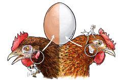 Backyard Chicken Coops, Diy Chicken Coop, Backyard Farming, Chickens Backyard, Cute Chickens, Keeping Chickens, Raising Chickens, Bantam Chickens, Chicken Anatomy