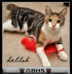 Delilah is an adoptable Domestic Short Hair Cat in Birmingham, AL.  Primary Color: Calico Secondary Color: Tabby Weight: 5.8 Age: 0yrs 5mths 0wks  Animal has been Spayed...
