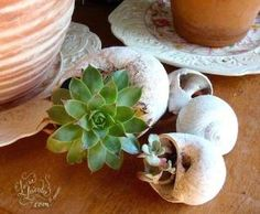 Succulent Shell Planter Ideas by rosa