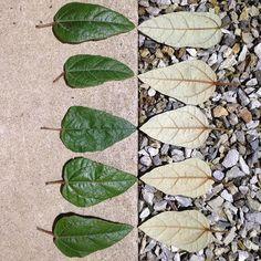 Positive | Negative Pattern 99:366-1 Lasiopetalum macrophyllum 'Shrubby Velvet Bush' shiny upper and velvety underside leaves ...very Orla Kiely #oneaday #ephemeralart #ephemeralartjourneysdaily #pattern #texture #leaves #lasiopetalum #tasmanianplants #natureart #gravel #orlakiely by rumney174