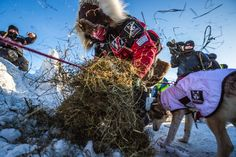 Zirkle laying down straw for her team after arriving in Unalakleet