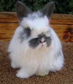 7 Best Jersey Wooly Images Rabbit Pets Rabbit Breeds