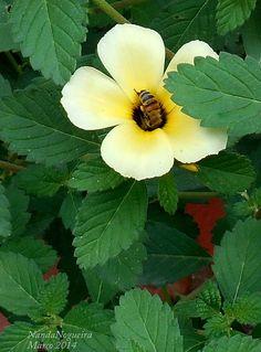 Flor-do-Guarujá / Albina / Chanana / Turnera ulmifolia.