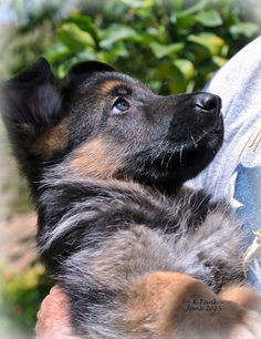 """GSD Puppy~ """"The Look of TOTAL Trust and Love!"""""""