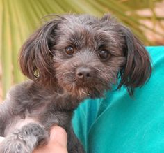 """Natasha is an adorable baby girl who loves to cuddle.  She is a Toy Poodle mix, 9 months of age, now spayed and debuting for adoption at Nevada SPCA (www.nevadaspca.org).  Natasha is playful and enjoys bonding with other dogs.  She was surrendered by her previous owner who did not understand that she was in estrus (""""in heat"""") and that was the reason for her nippiness when touched near her hind end and hind legs.  Please help find a responsible, stable, loving forever home for Natasha."""