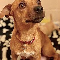 Millersville, Maryland - Chihuahua. Meet Clover, a for adoption. https://www.adoptapet.com/pet/21246263-millersville-maryland-chihuahua-mix