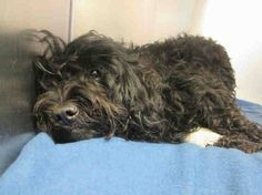 Injured and waiting. NO NAME 2 year unaltered Female Black Poodle mix. Injured in an auto accident. Orange County Animal Service Will pay all expenses on spayed, micro chip & other problems that might arise. ID #A1364532