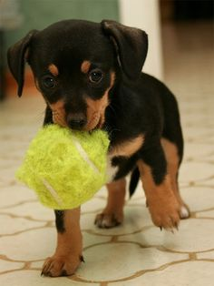 Chiweenie puppy. He looks like my Toby!!