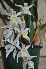 Coelogyne intermedia (douneika) Etiquetas: orquídea Orquídea orquídea intermedia coelogyne Orchidea
