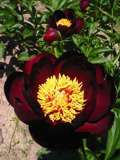 Crimson Red Peonies. I love Peonies, they are my second favorite flower next to Roses.