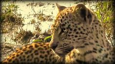 Xongile on #safarilive 4-10-17 with @BrentLeoSmith