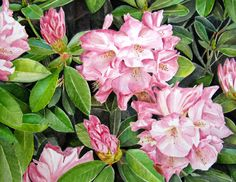 Rhododendron Delights, Watercolour Painting by Jacqui Cleijne, Tasmania SOLD