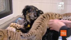 Dog is Nanny to Zoo's Tiger Cubs.  Blakely, an Australian shepherd, plays nanny to Cincinnati Zoo's tiger cubs.