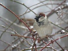 Bird Photos, Birding Sites, Bird Information: HOUSE SPARROWS IN SNOW, HIGH PARK, TORONTO, ONTARI...