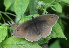 Butterfly Conservation is a British charity devoted to saving butterflies, moths and their habitats throughout the UK. Butterfly Kisses, Butterflies, Butterfly Species, Beautiful Bugs, Natural World, Habitats, Moth, Creatures, Drawings