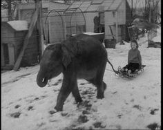 Twiggy the elephant as a pet in Hertfordshire, 1970: http://www.britishpathe.com/video/elephant-in-snow-aka-baby-elephant-as-pet/   Her plight in recent years, stuck alone at Belgrade Zoo, has been outlined by Virginia McKenna.
