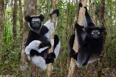 Indri (Indri indri) naturwelten.org fotograf 4 43;jsessionid=C0C808CBBC1FA6A1F76017AC6A0F2176