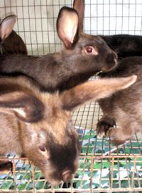 """Rick Worden has promoting rabbits for homestead use and personally raising rabbits for 30 + years and feels every homestead should be raising rabbits due to their tremendous impact toward greater self sufficiency. Rick's company is Rise and Shine Rabbitry … <a href=""""http://www.thesurvivalpodcast.com/episode-875-rick-worden-of-rise-and-shine-rabbitry"""">Continue reading <span class=""""meta-nav"""">→</span></a>"""