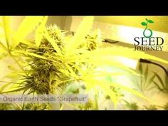 watch our time lapse movie of this nice Grapefruit seed growing into a nice cannabis plant. Thanks to our friends from Organic Earth Maastricht  http://www.organicearth.eu/grapefruit-p-5732.html