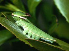 Dragon Caterpillar