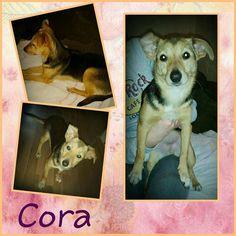 Cora ist gut auf ihrer tollen Pflegestelle in Duisburg angekommen. Die hübsche Hündin  ist erst ca. 7 Monate alt. Sie läuft gut an der Leine in manchen Situationen ist sie aber vorsichtig. Trotzdem ist sie ein aufgeweckter kleiner Hund der sehr gern spielt.  Cora ist verträglich mit Hunden mit Katzen müsste man ausprobieren. Mit manchen klappt es andere werden schon mal gescheucht. Natürlich ist sie auch stubenrein. Alles in allem ist sie ein lebendiger junger Hund der bespielt werden will…